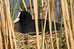 Ein Blesshuhn auf seinem Nest am Lengwiler Weiher liess sich vom Fotografen nicht stören. (Bild: Thomas Ammann)