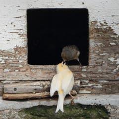 Vogelfütterung in der Volière in Arbon. (Bild: Stella Catenazzi)