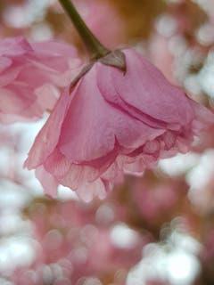 Eine Japanische Kirschblüte im Sonnenschein. (Bild: Reto Schlegel)
