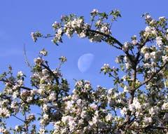 Der Mond umrahmt von Apfelblust in St.Gallen. (Bild: Sara Schwendener)