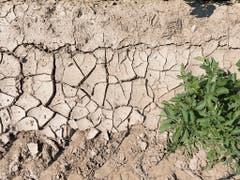 Ein Teil eines im letzten Jahr vertrockneten Kartoffelfeldes: Für die in den letzten zwei Wochen gepflanzten Kartoffeln ist der Regen nun existenziell. (Bild: KEYSTONE/GAETAN BALLY)