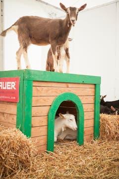 Luga-Ziegen besteigen ihre Behausung. (Bild: Jakob Ineichen, Luzern, 27. April 2019)