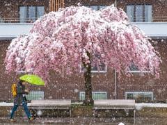 Kälte, Nässe, Blüten, hier in Freiburg: Der April 2019 hat verschiedene Seiten gezeigt. (Bild: KEYSTONE/ADRIEN PERRITAZ)