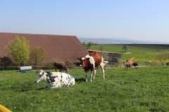 Rinder gucken vor Salenstein neugierig. (Bild: Marlen Hämmerli)