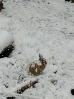Auch Hasen geniessen den Schnee. (Bild: Heidi Berchtold, Giswil. 4. April 2019)