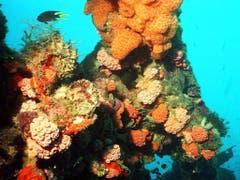 Korallenbleichen gab es immer wieder, jedoch hatte das Riff dazwischen Zeit, sich zu erholen - wie in diesem Bild von 1998. Durch den Klimawandel befürchten Experten, dass es künftig alle zwei Jahre zu massiven Korallenbleichen kommt. (Bild: KEYSTONE/AP/UDO WEITZ)