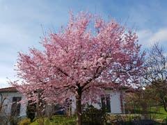 Ein japanischer Kirschbaum in voller Blüte. (Bild: Willi Sager)