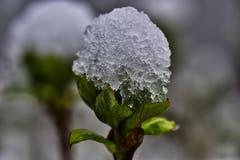 Beim erneuten Wintereinbruch wachsen sogar Eisblumen. (Ernst Rohrer, Inwil, 4. April 2019)