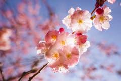 Die Kirschbäume blühen in der Ostschweiz. (Bild: Remo Schläpfer)