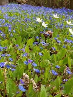 Blaue Blumenmatte mit Buschwindröschen. (Bild: Reto Schlegel)