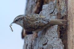 Der Waldbaumläufer im perfekten Tarnkleid beim Nestbau in Trogen. (Bild: Hans Aeschlimann)