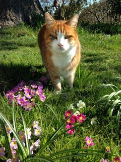 Auch die Katzen lieben den Frühling. (Bild: Toni Sieber)