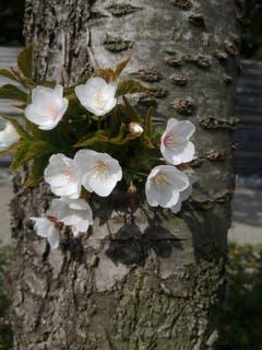 Lustige Laune der Natur - die Blüte treibt direkt aus dem Stamm. (Bild: Rahel Nett)