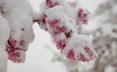 Die Blütenpracht ist auch auf dem Zugerberg in der weissen Pracht versunken. (Bild: Daniel Hegglin, 04. April 2019)
