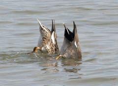 Die Schnatterenten im Bodensee bei Arbon: Köpfchen in das Wasser... (Bild: Wolfgang Ponader)