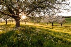 Letztes Sonnenlicht umgeben von wunderschönen blühenden Apfelbäumen in Affeltrangen. (Bild: Marc Bollhalder)
