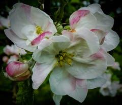 Apfelblüten nach dem ersehnten Niederschlag. (Bild: Stephan Lendi)