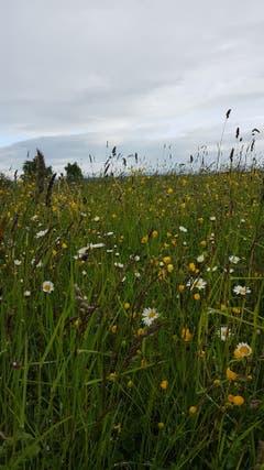 Eine prächtige Blumenwiese. (Bild: Marlies Steinemann)