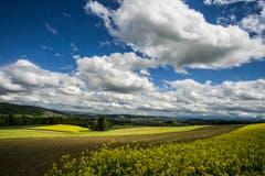 Trotz Sonne, Regen und Wind: Die Felder leuchten. (Bild: Vinzenz Blum, Ebersecken, 10. Mai 2019)
