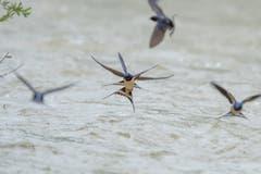 Ballett der Rauchschwalben. (Bild: Luciano Pau)