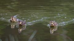 Die jungen Stockenten im Unterbachweiher sind schon flott unterwegs. (Bild: Hans Aeschlimann)