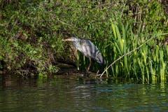 Der Graureiher am Saumweiher fühlt sich von Paparazzi beobachtet. (Bild: Luciano Pau)