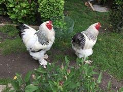 Die Herren im Stall der Hühner. (Bild: Toni Sieber)