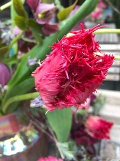 Eine besondere und schöne Tulpe. (Bild: Jeannette Haueter-Schulz)