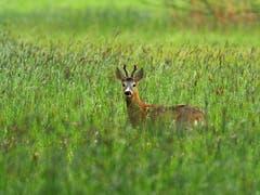 Rehbock im nassen Gras, fotografiert im Rheintal. (Bild: Roland Hänggi)