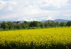 Frühling oder Winter? Rapsfeld und der weisse Alpstein, aufgenommen in Egnach. (Bild: Doris Sieber)
