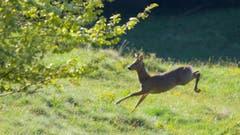 Der rettende Sprung in die Deckung... das Reh, gesehen in Trogen. (Bild: Hans Aeschlimann)