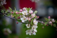 Ein blühender Apfelbaum. (Bild: Ulli Ersinger)