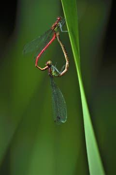 Frühlingsgefühle der Libellen in einem Biotop in Goldach. (Bild: Irene Weibel)