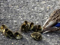 Neugeborene Enten am Bodensee in Rorschach. (Bild: Doris Sieber)
