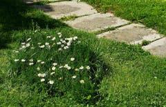Biodiversität im eigenen Garten. Blumeninsel im geschnittenen Rasen. (Bild: Walter Schmidt)