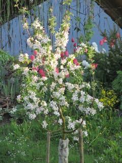 Apfelbaum mit Tulpenhintergrund. (Bild: Claudine Germann)