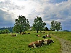 Die Kühe geniessen sowohl das Wetter wie auch die satten grünen Wiesen. (Bild: Urs Gutfleisch, Alberswil, 21. Mai 2019)