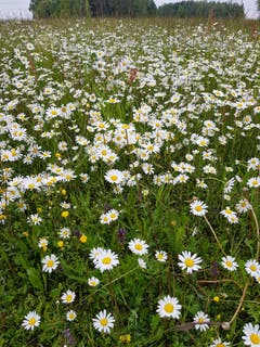 Blumen soweit man sieht...(Bild: Reto Schlegel)