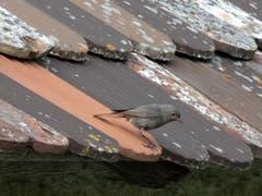 Hausrotschwanz auf dem Mauerdach beim Kloster Notkersegg. (Bild: Doris Sieber)