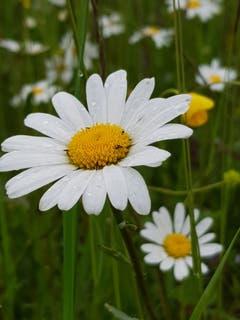 Blütenpracht trotz Regen. (Bild: Reto Schlegel)