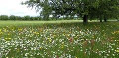 Blumenwiese bei Mörschwil. (Bild: Klaus Businger)
