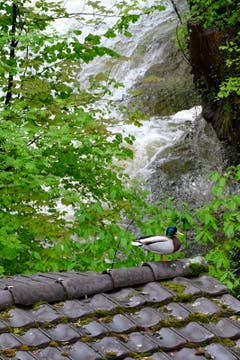 Selbst der Ente wird es in der Mühlelenschlucht zuviel. Sie verfolgt das Spektakel lieber vom sicheren Dach aus. (Bild: Franz Häusler)
