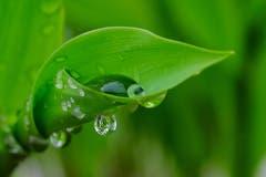 Ein Maienriesli entfaltet sich nach dem grossen Regen. (Bild: Franz Häusler)