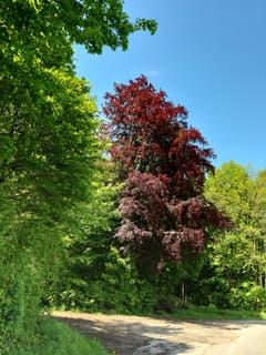 Eine Rotbuche inmitten von Grün in der Nähe von Tägerwilen. (Bild: Michael Ziganke)