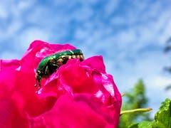 Der Rosenkäfer will hoch hinaus. (Bild: Toni Sieber)