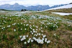 Krokusse auf der Alp Sigel in Hülle und Fülle. (Hinten Kamor und Hoher Kasten). (Bild: Franz Häusler)