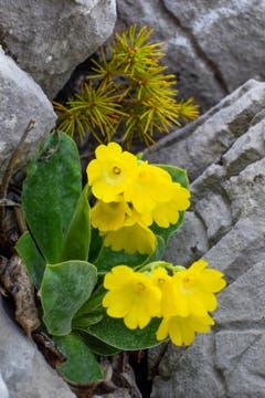 Die Alpenflora auf der Alp Sigel: Aurikeli (Primula Auricula) in seinem Habitat. (Bild: Franz Häusler)