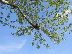 Ein Ast einer Platane in Gossau: Dieses Jahr wird es wieder Früchte geben, man sieht kleine Kugeln. (Bild: Claudine Germann)