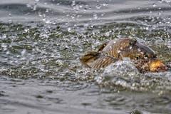 Hochzeit der Karpfen im Bodensee. (Bild: Toni Sieber)