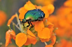 Der Blumenkäfer macht seinem Namen alle Ehre. (Bild: Irene Weibel)